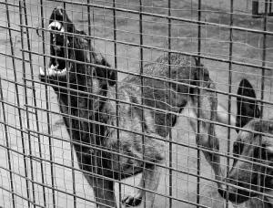 cage rage